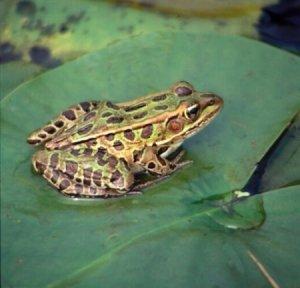 Brogana Sunfrog